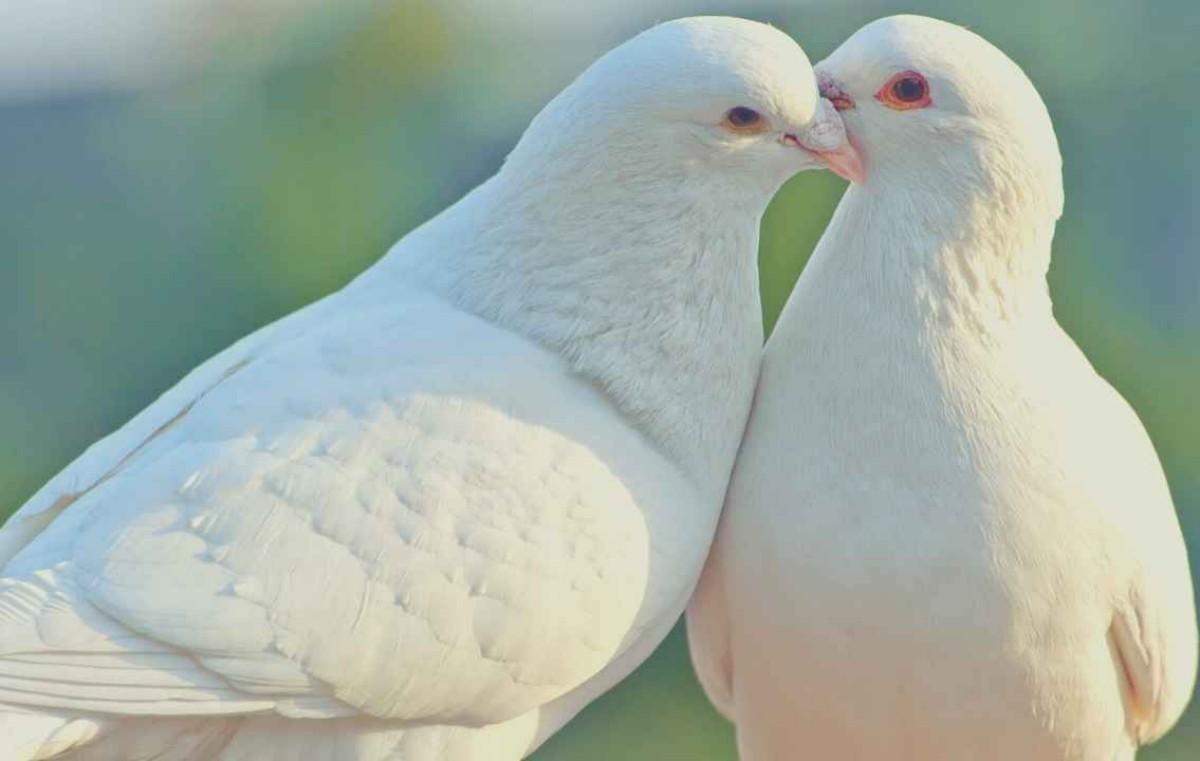 Significance of White Dove